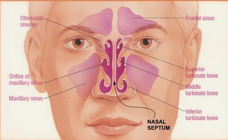 nasal_septum