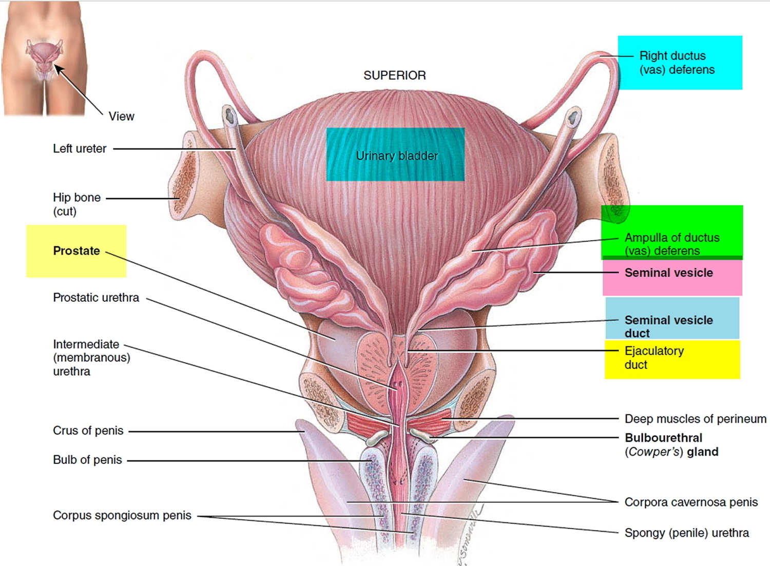 vas-deferens anatomy