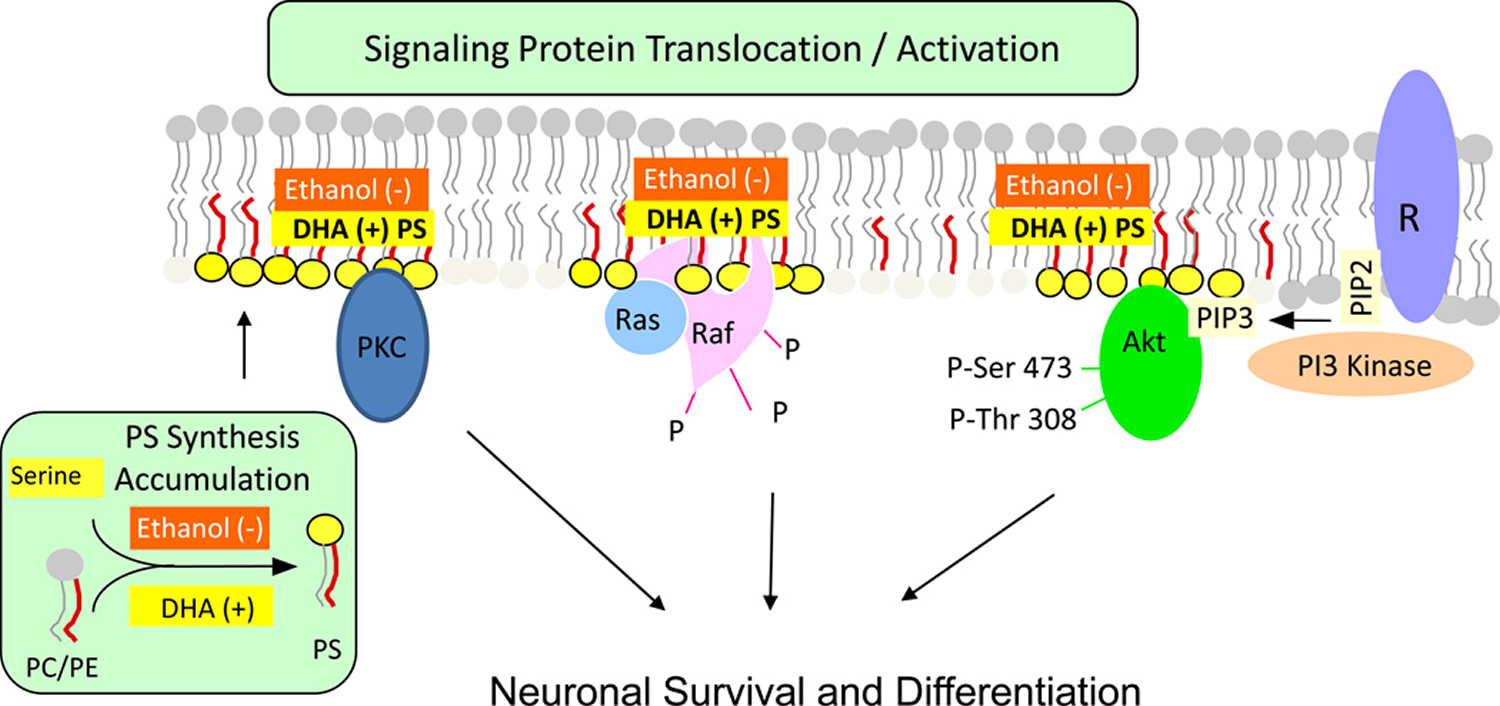 Activation of neuronal signaling pathways facilitated by phosphatidylserine