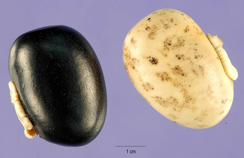 Mucuna pruriens seeds