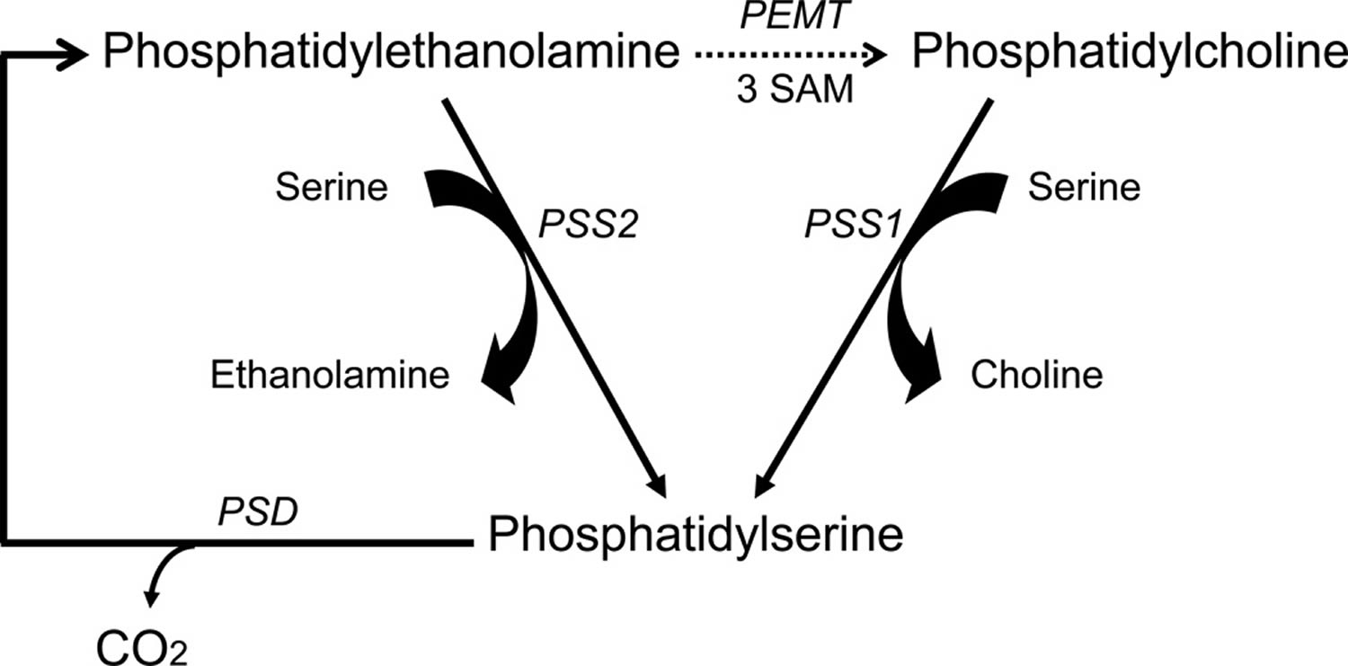 phosphatidylserine synthesis and metabolism in the brain