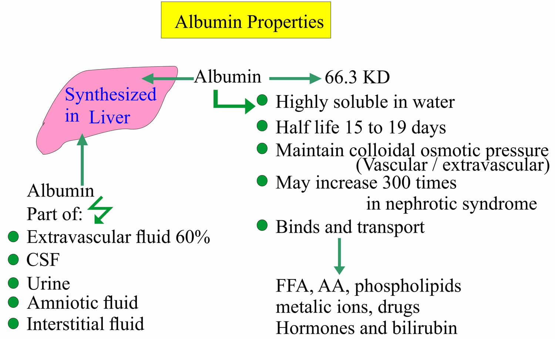 Albumin-function