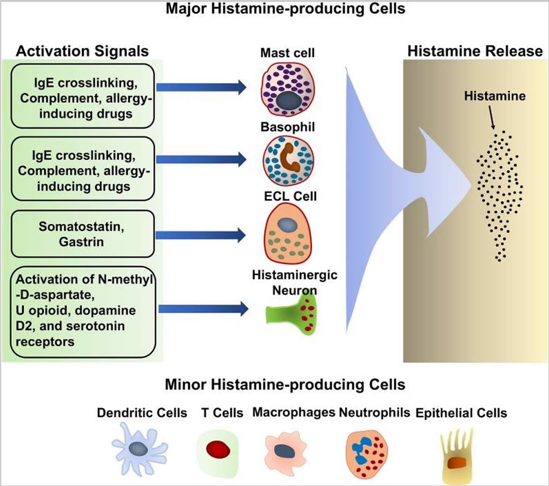 Histamine-producing cells