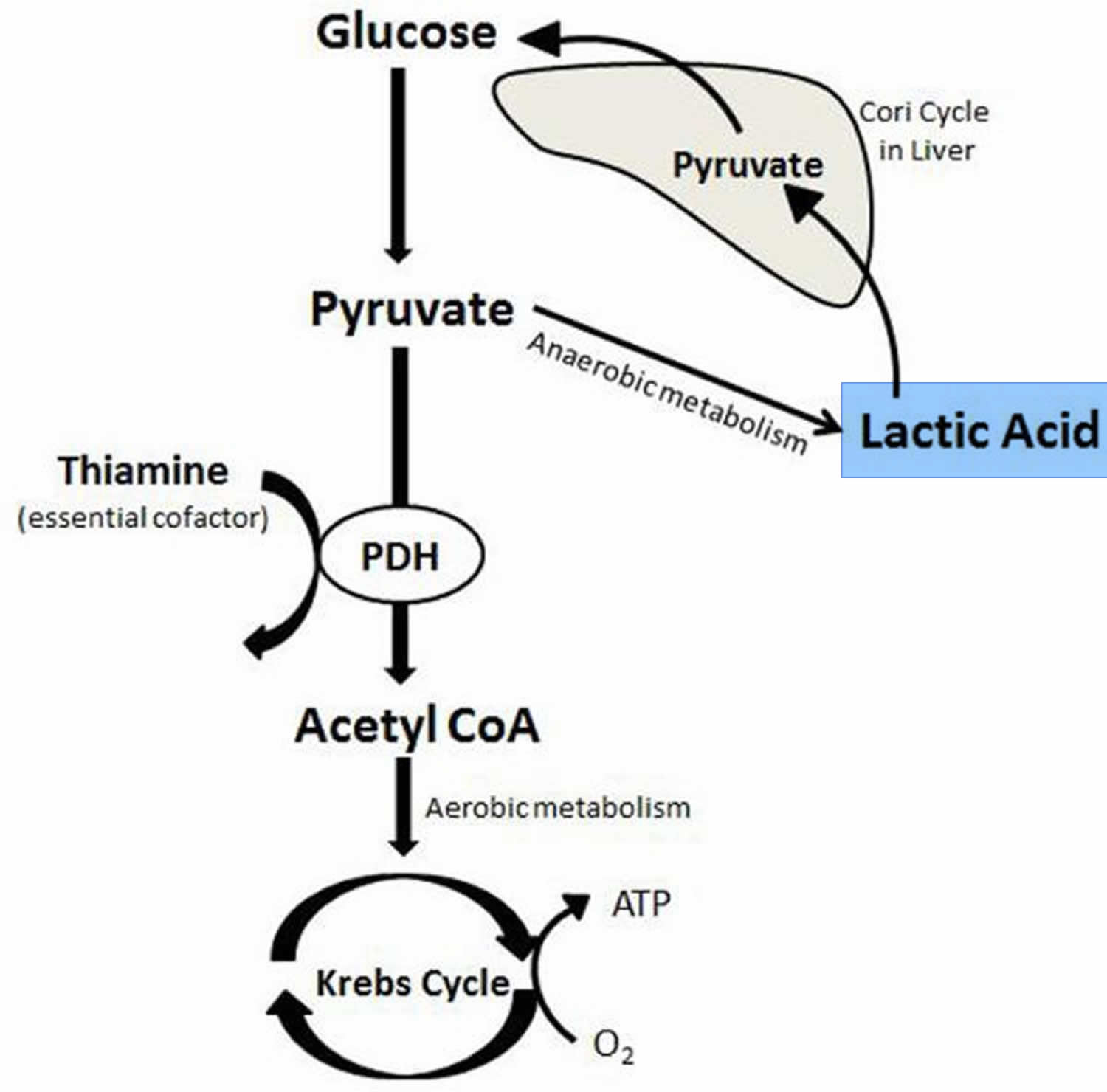 Lactic acid production and metabolism