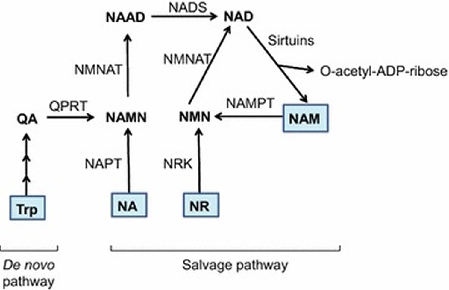 NAD biosynthesis
