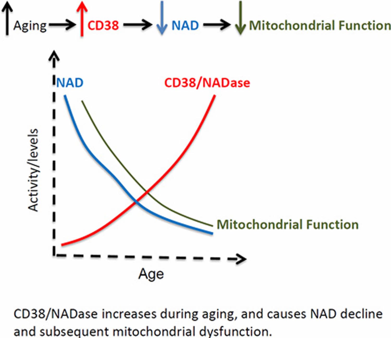 NAD-decline-due-to-aging