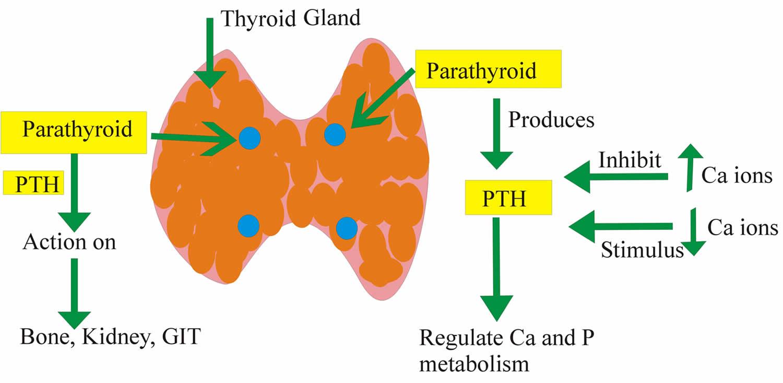 Parathyroid Hormone Function Low Parathyroid Hormone High