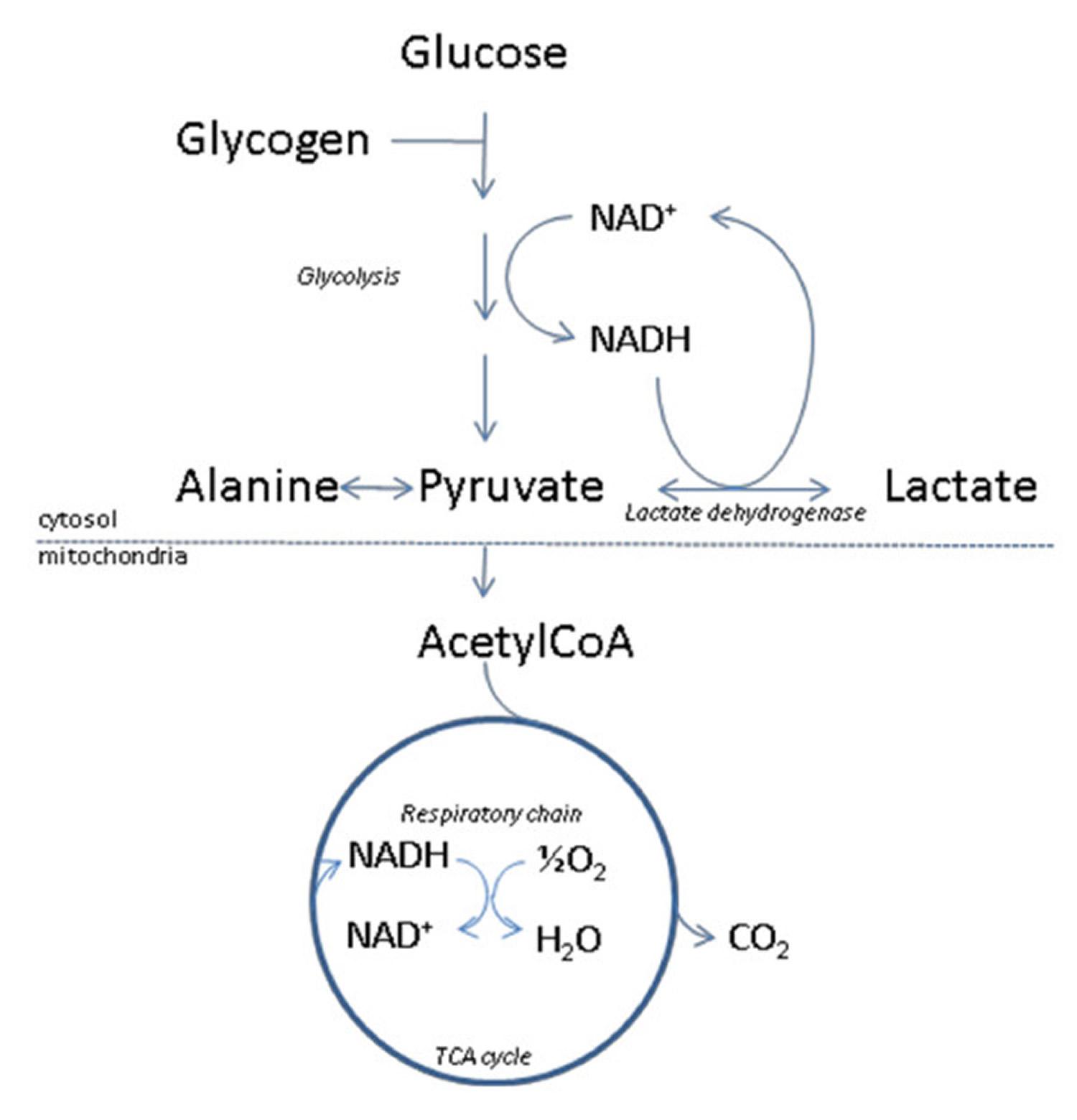 lactate metabolism