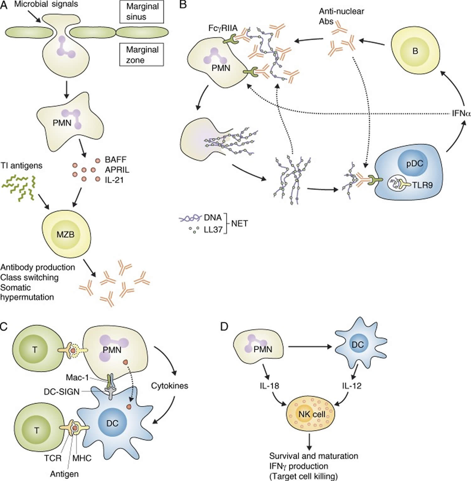 Neutrophils interaction with other immune cells