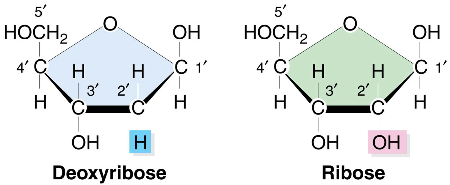 ribose and d-ribose