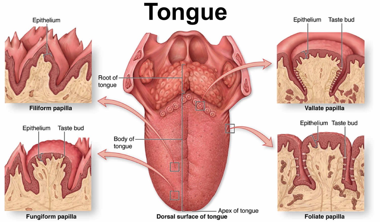 Tongue cancer causes, signs, symptoms, stages, prognosis and treatment