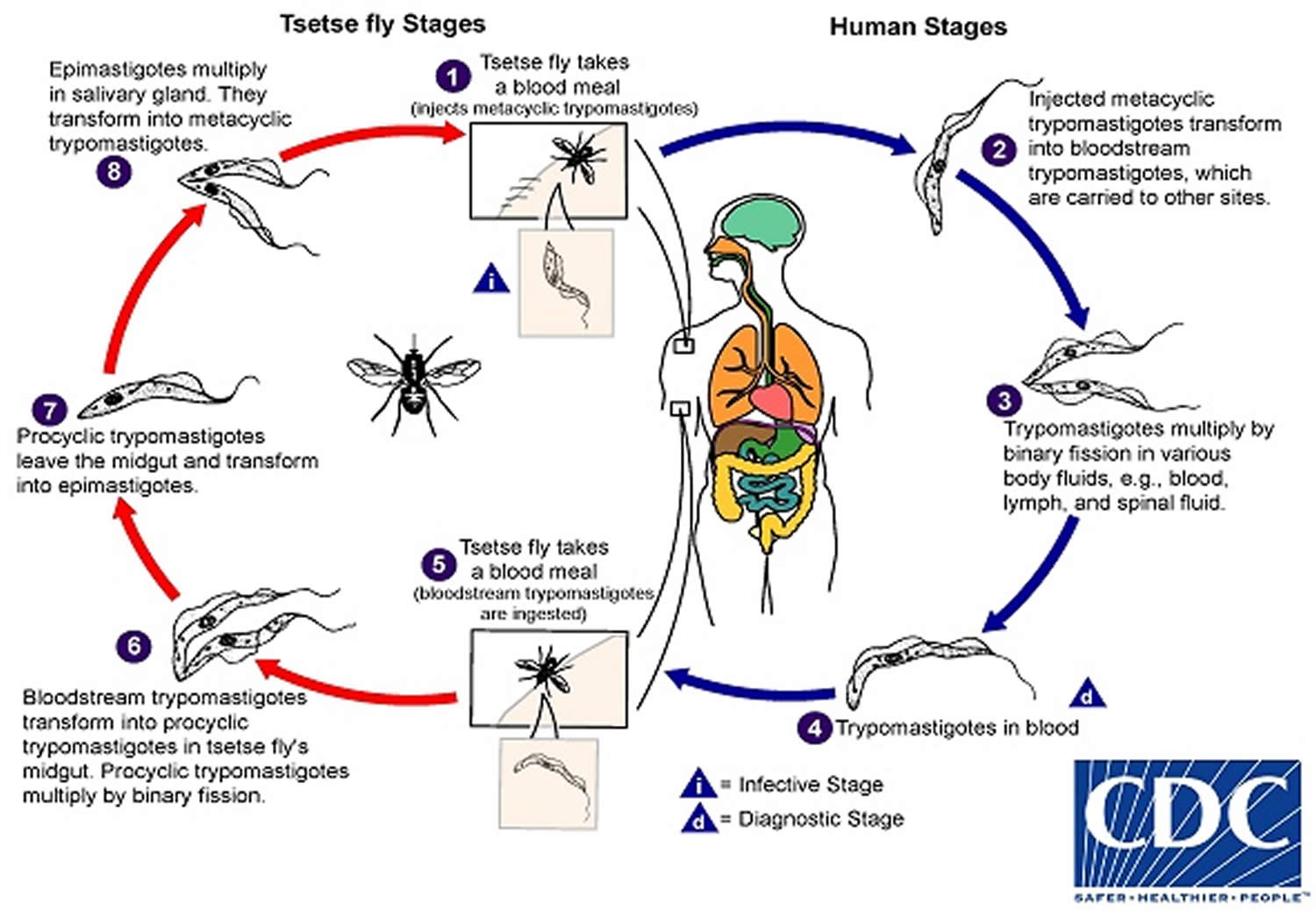 African sleeping sickness life cycle_Trypanosoma life-cycle