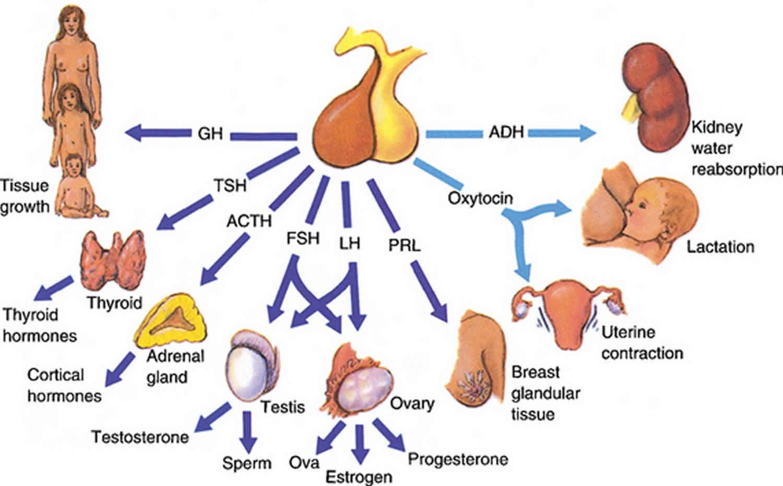 Follicle Stimulating Hormone Function, Source, Fsh Blood -3566