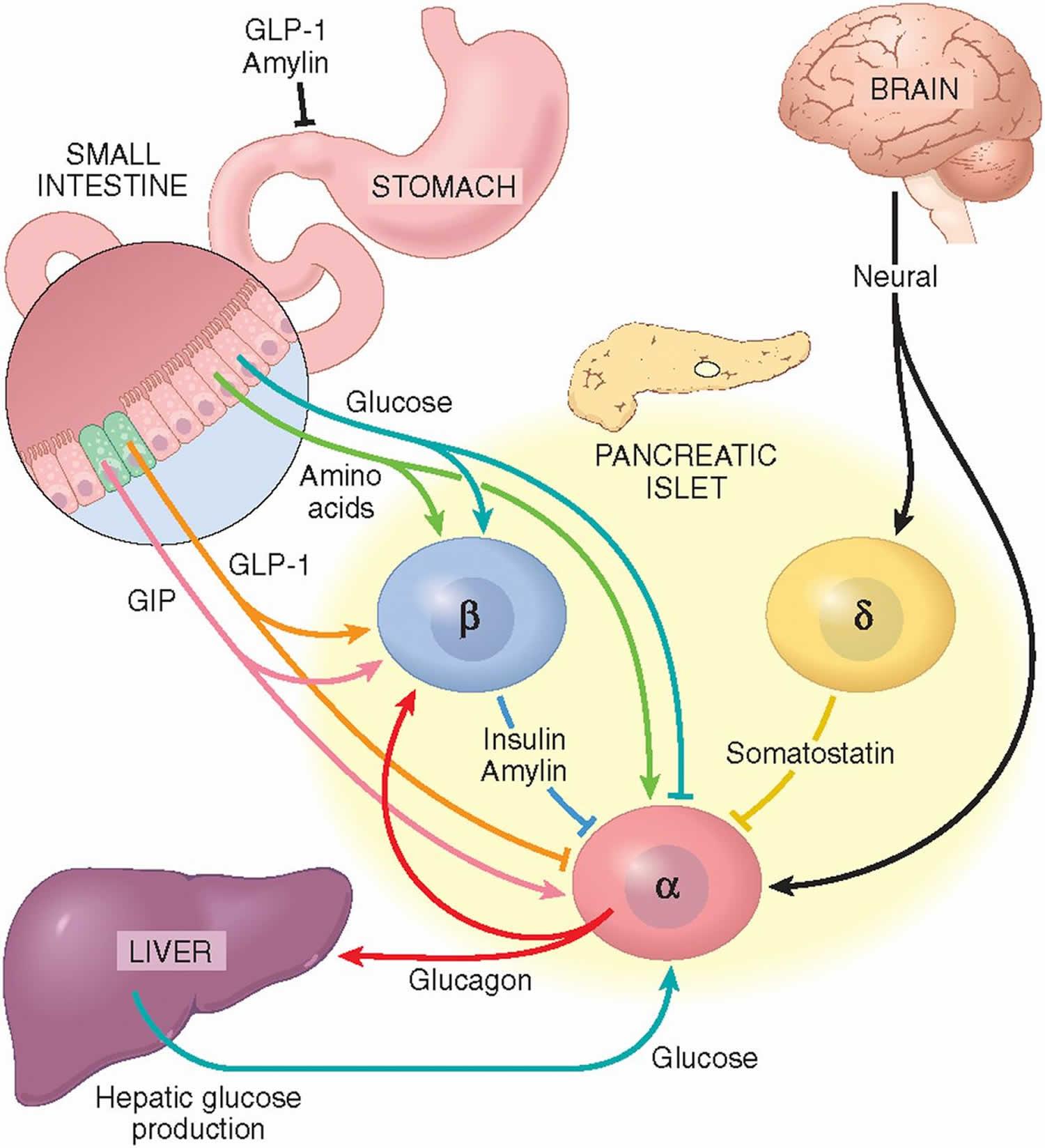 Endocrine System Feedback Loop Diagram