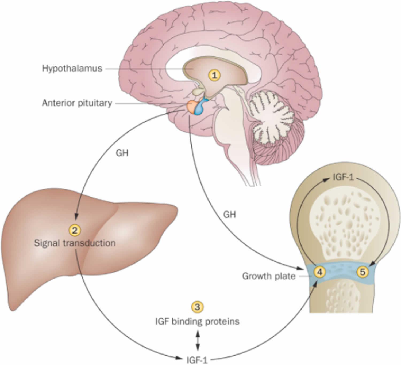 IGF, Insulin Like Growth Factor-1 Function, IGF Test