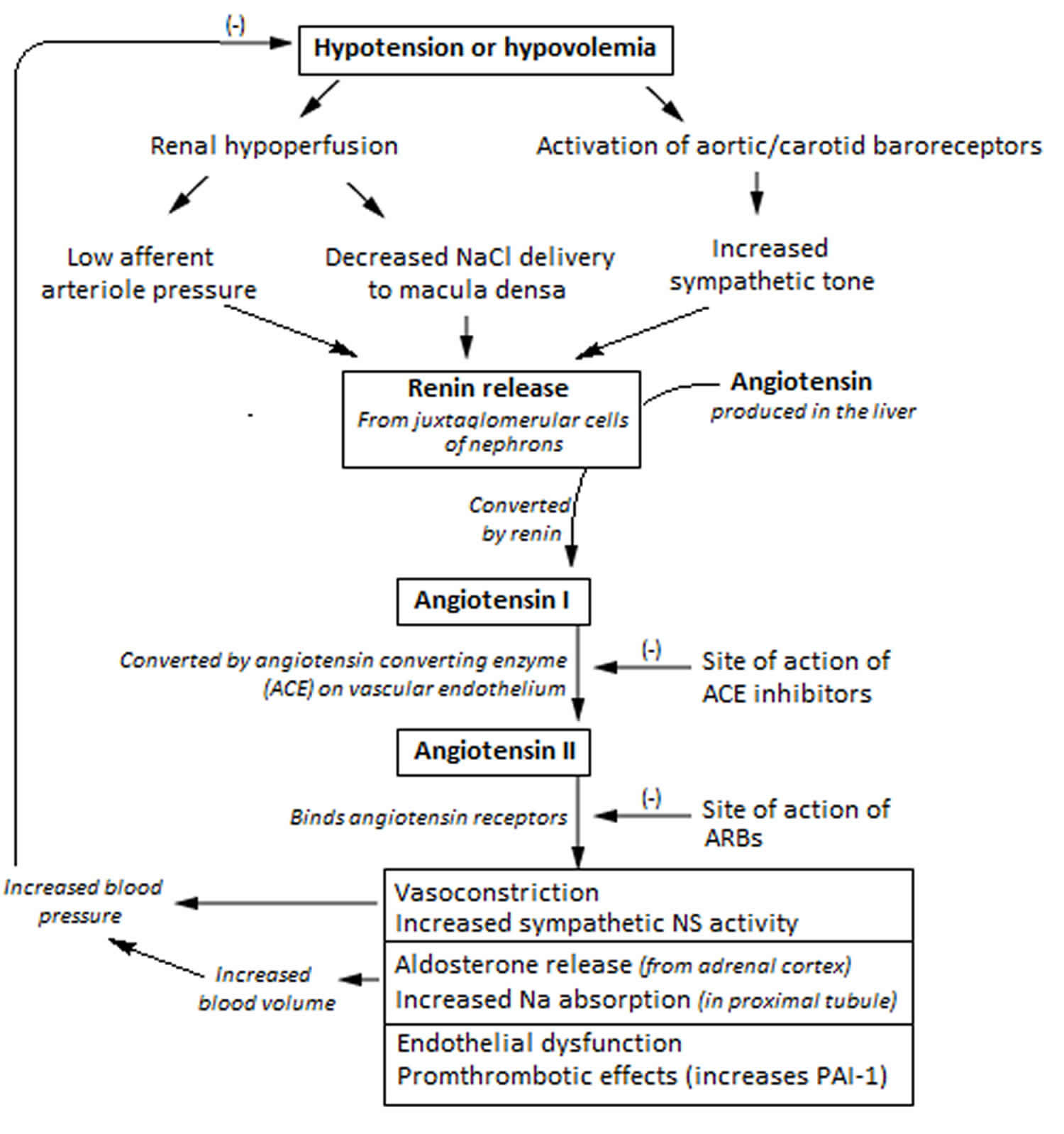 Renin angiotensin aldosterone system mechanism of action