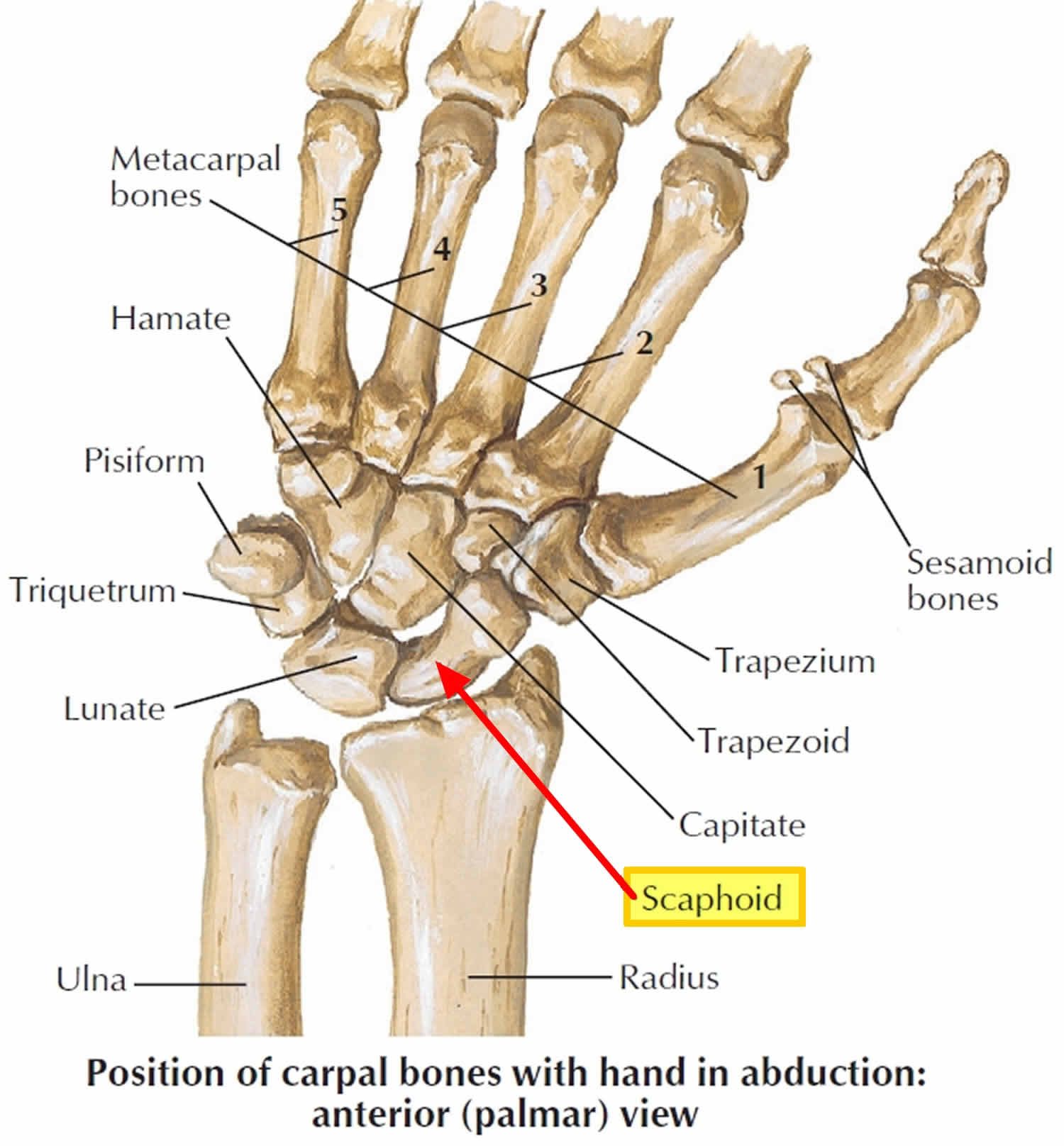 Scaphoid fracture causes, symptoms, diagnosis, treatment ...
