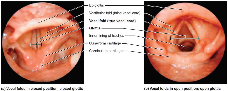 Epiglottis function