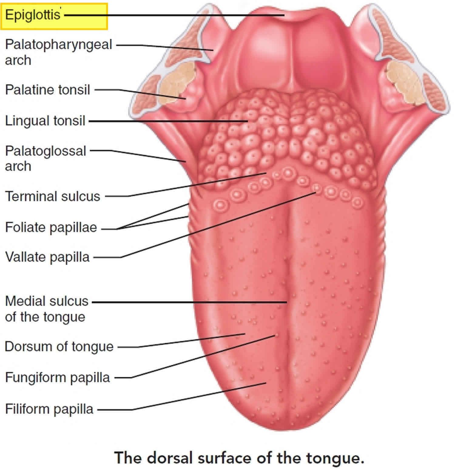 Epiglottis location