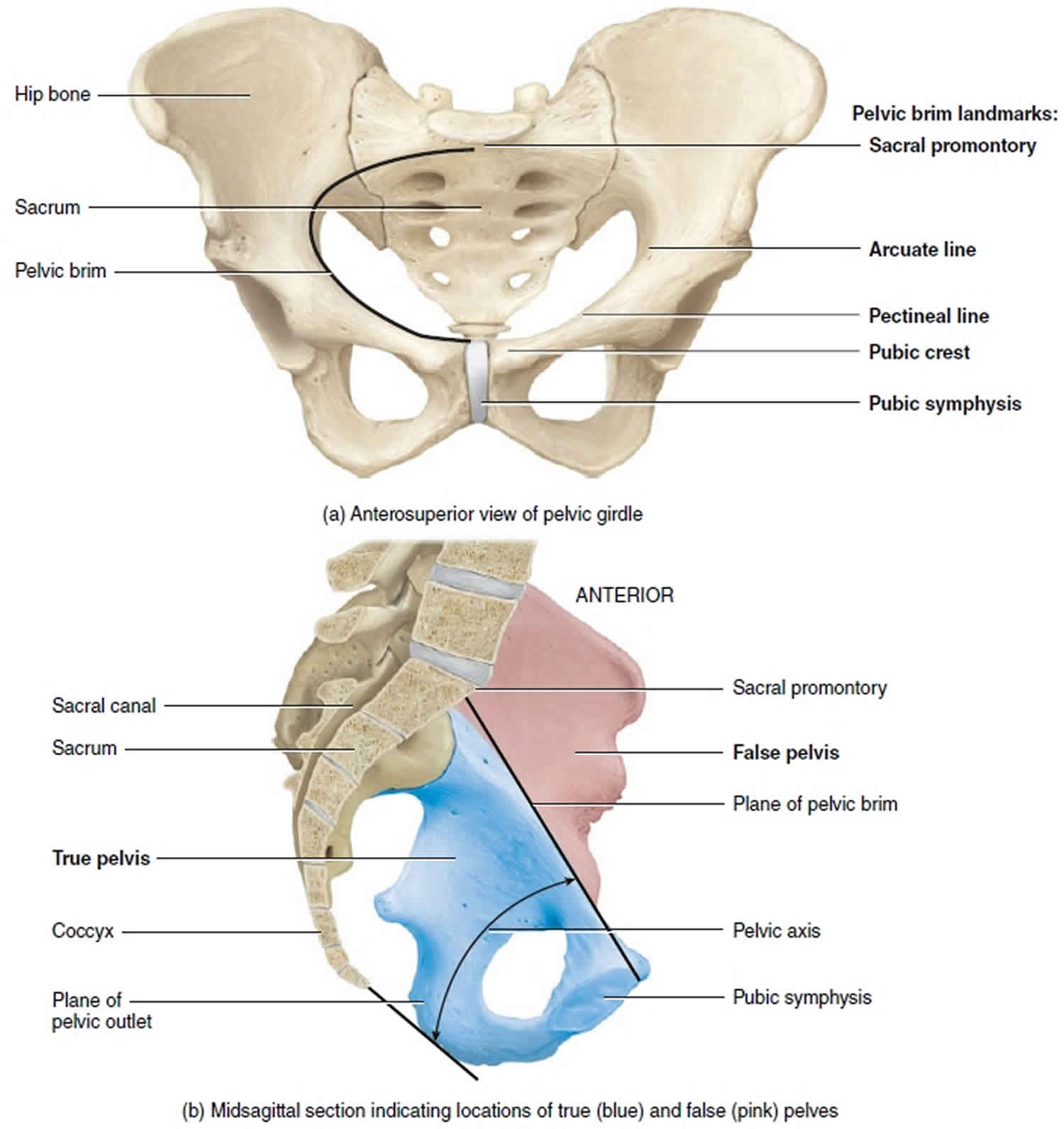 Female pelvis anatomy