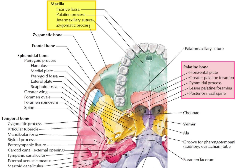 Hard Palate Anatomy Hard Palate Function Hard Palate Cancer Bump