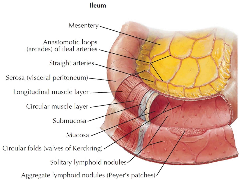 Ileum anatomy