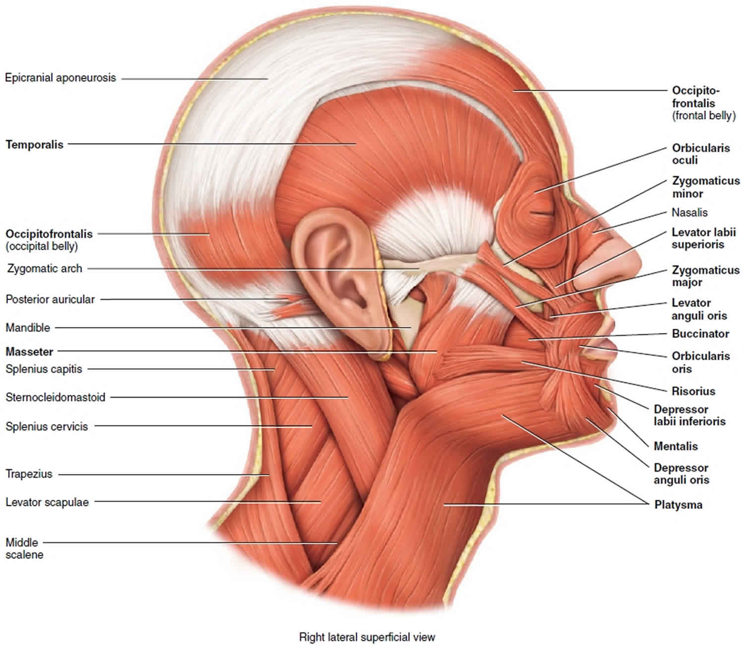 Muscles that move the mandible
