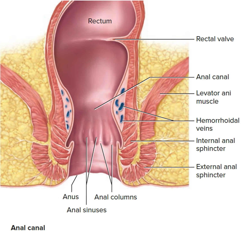 anal left muscle on side sphincter Swollen