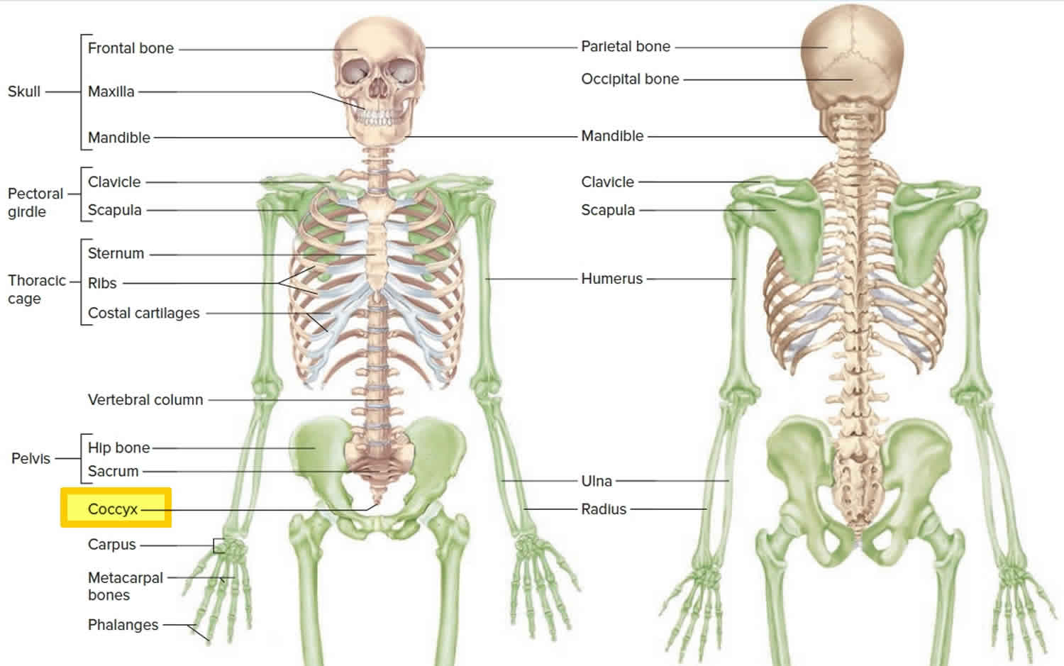Coccyx bone location