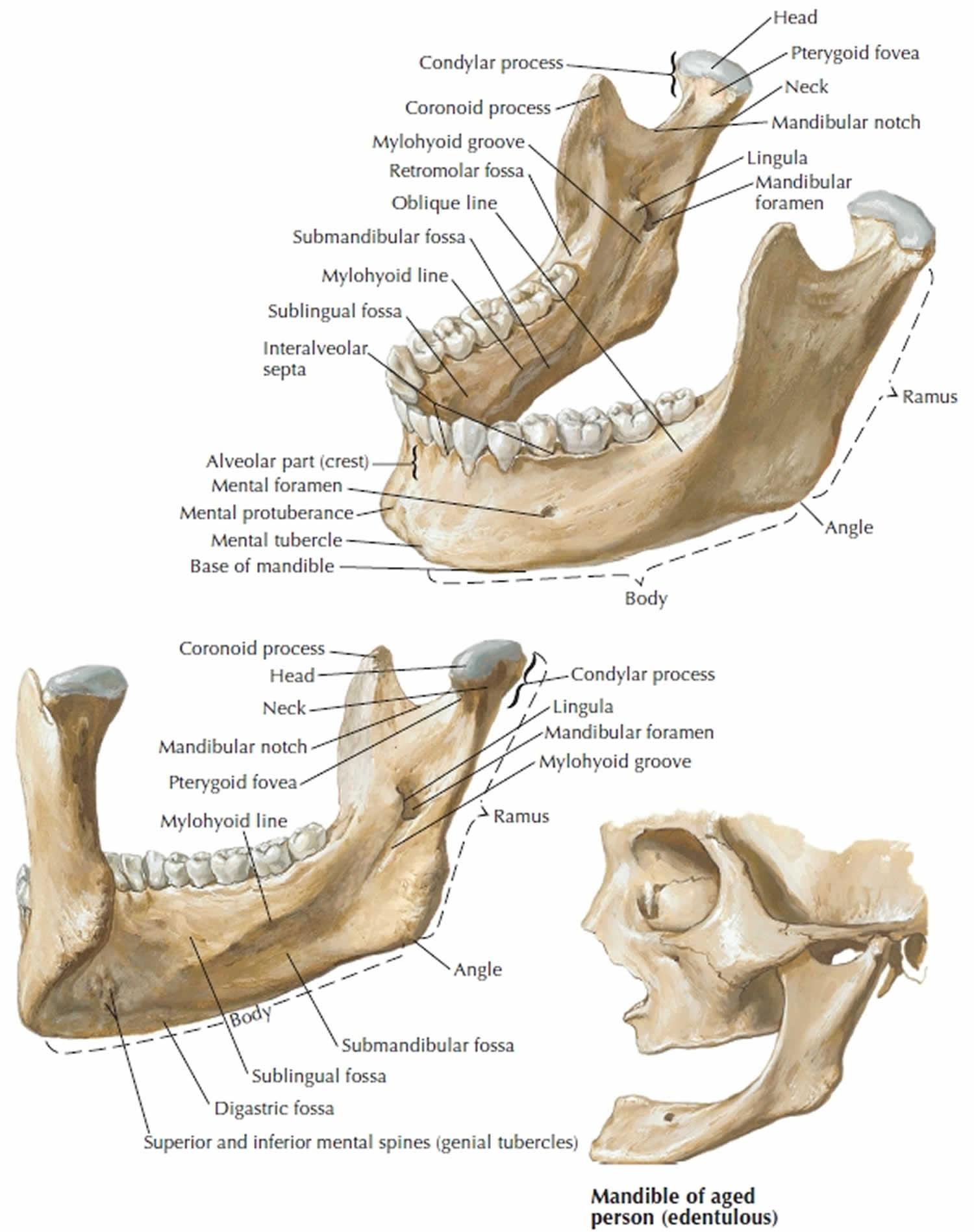 mandible anatomy