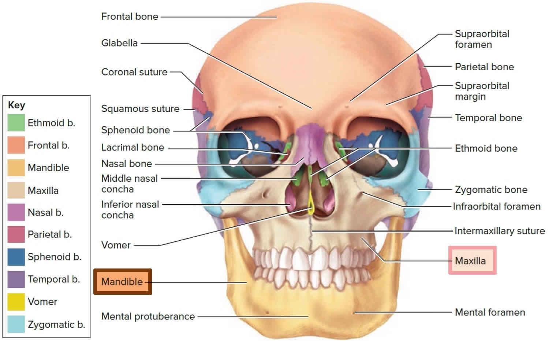 Mandible and skull