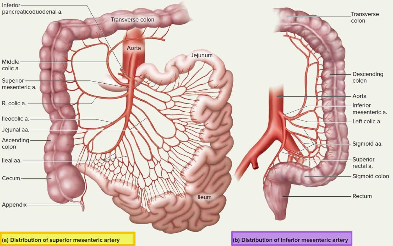 Mesenteric Artery Anatomy Function Branches Mesenteric Artery