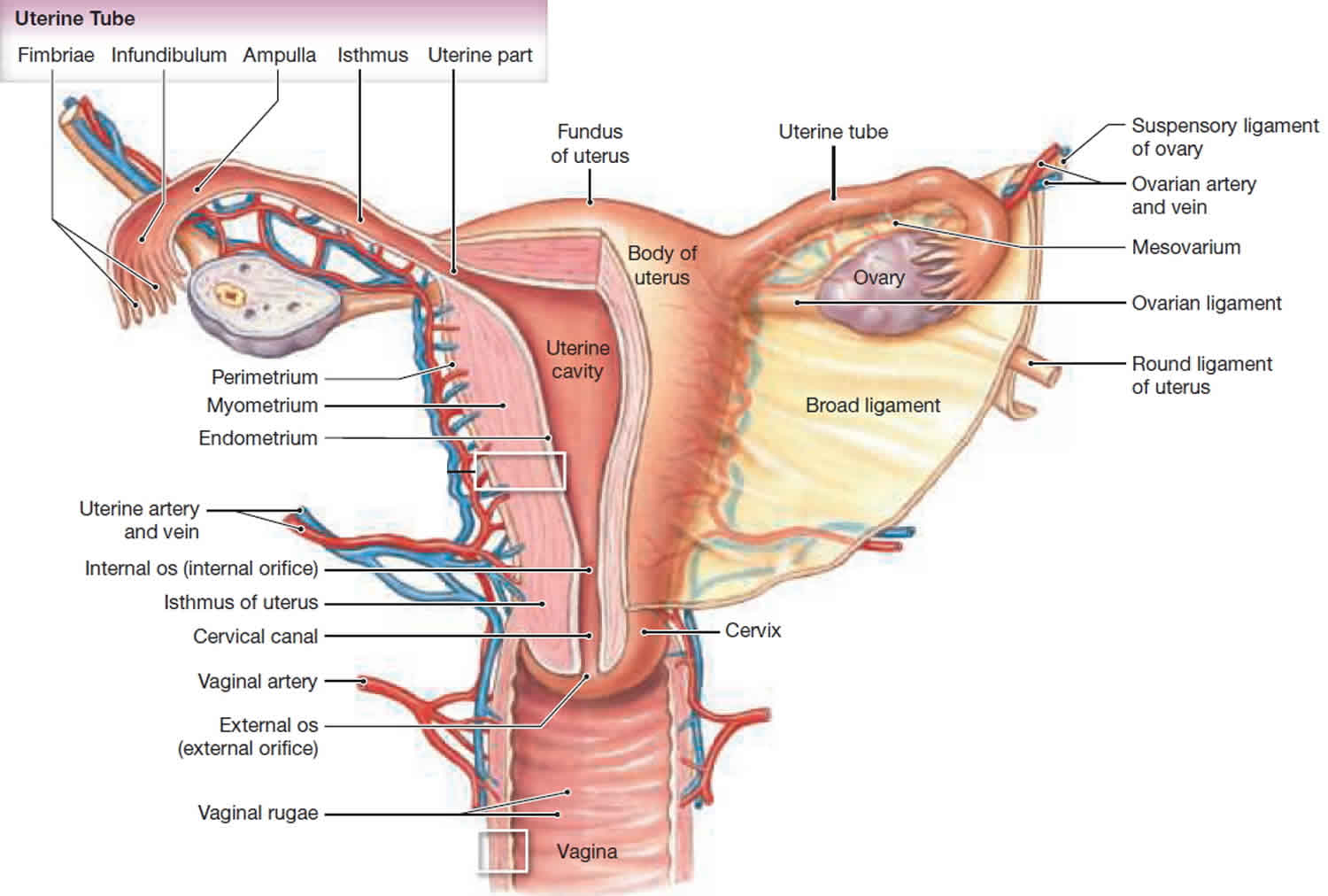 Front view of female reproductive organs