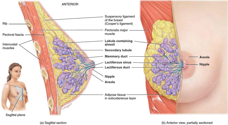 Vzroki za bradavico razrešnico za ženske, moški, nosečnost in-7760