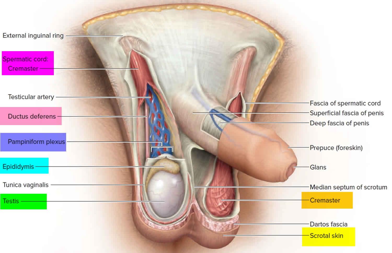 Testicular Torsion Causes Signs Symptoms Diagnosis Treatment