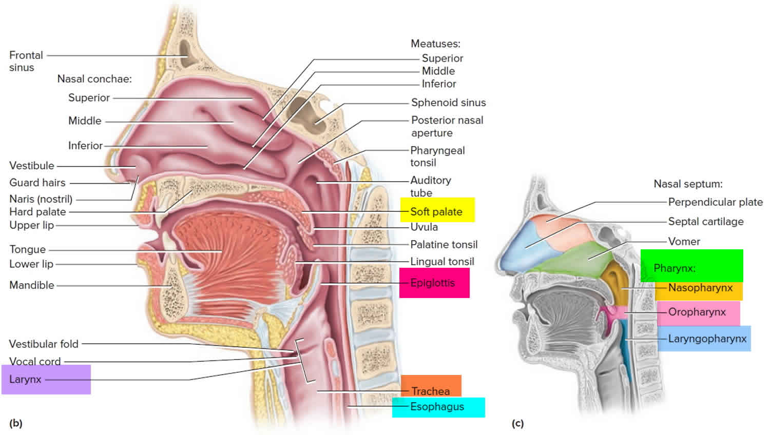 Larynx and pharynx anatomy