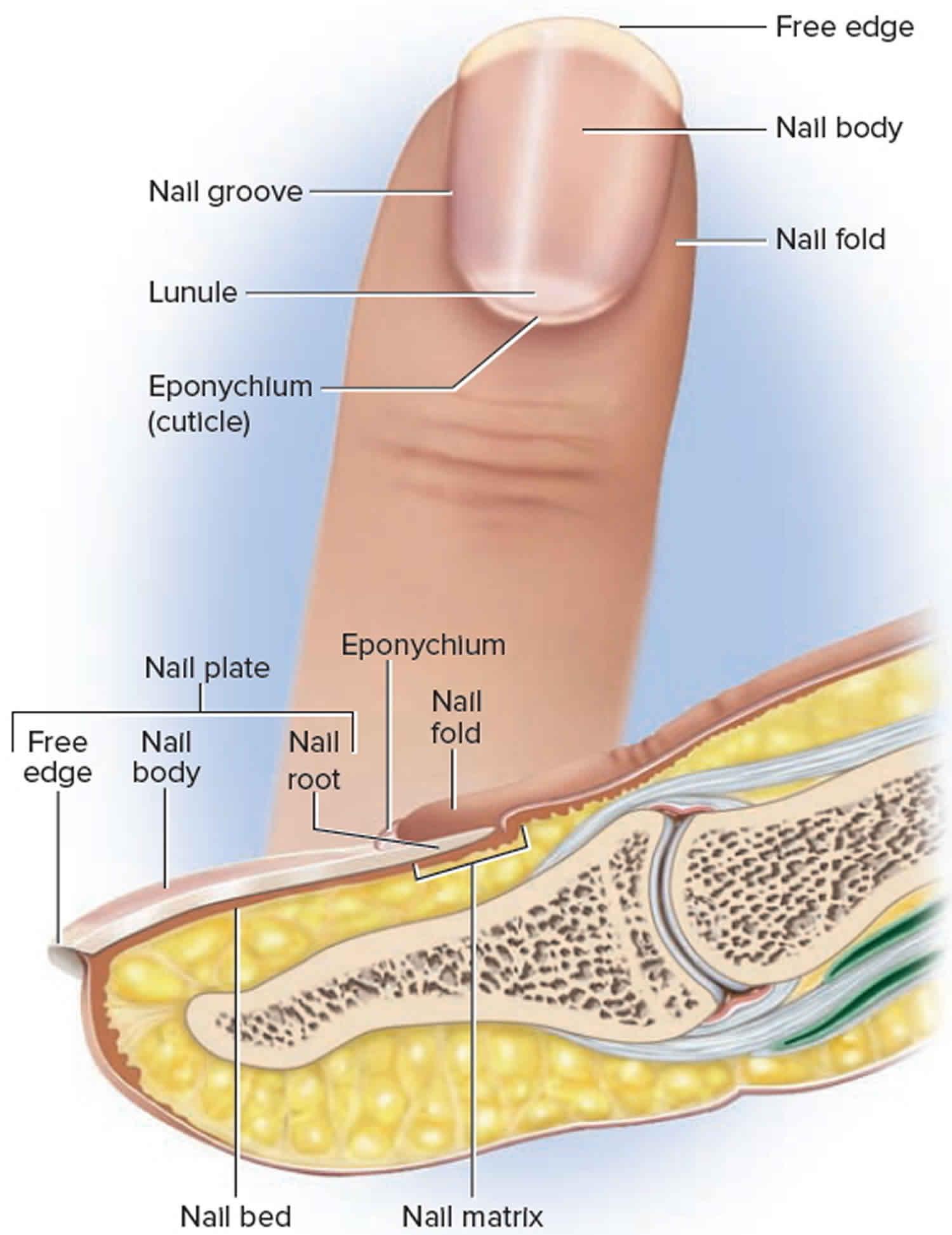 Fingernail