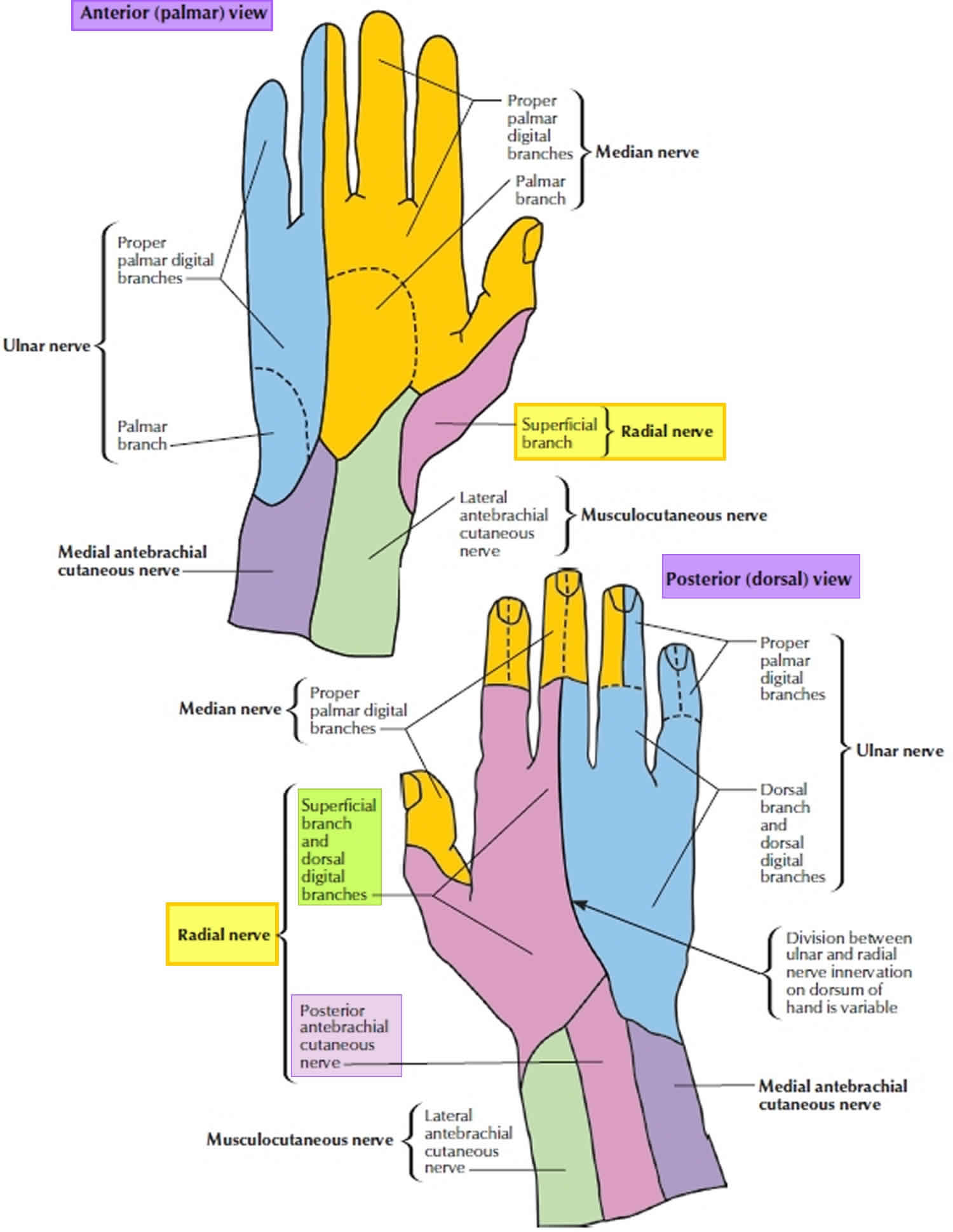 What Is Radial Balance In Art: Radial Nerve Anatomy, Radial Nerve Palsy And Radial Nerve