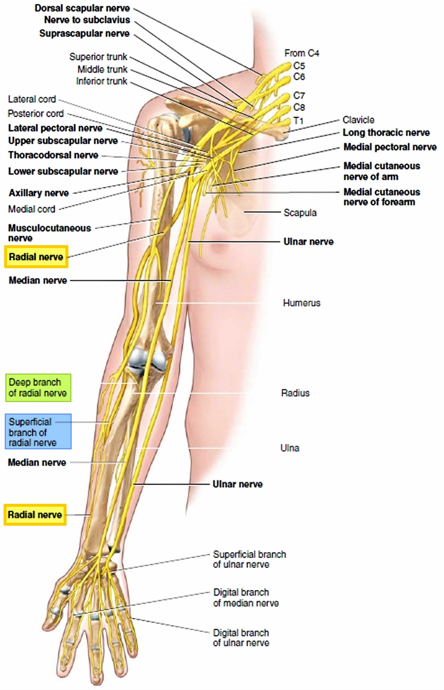 Radial Nerve Anatomy Radial Nerve Palsy And Radial Nerve Injury