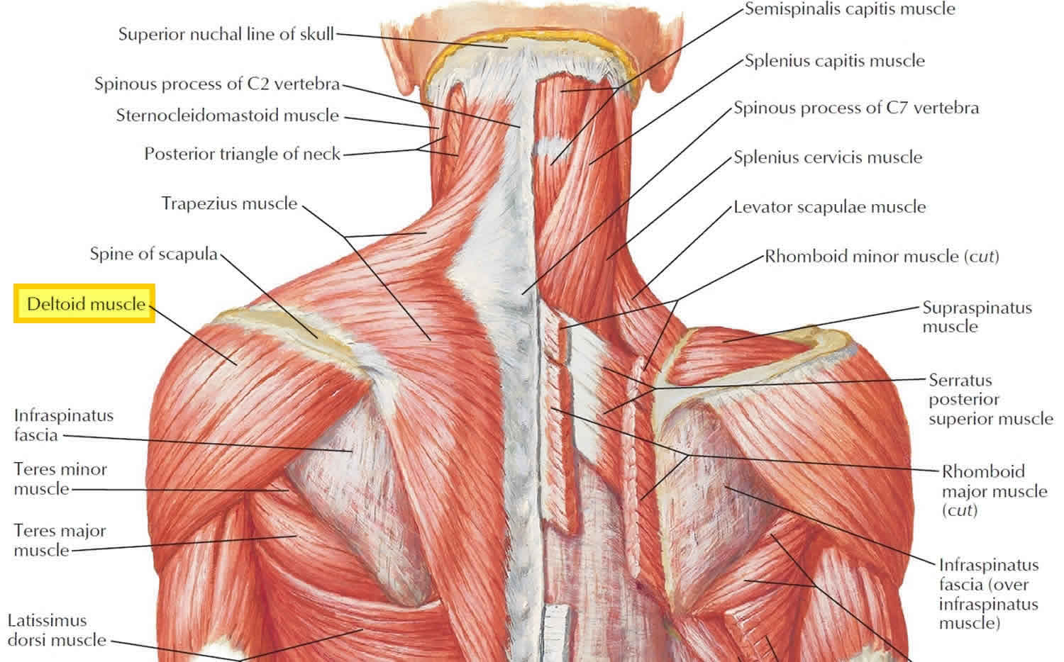 Deltoid Muscle Anatomy Fibers Function And Action Of The Deltoid