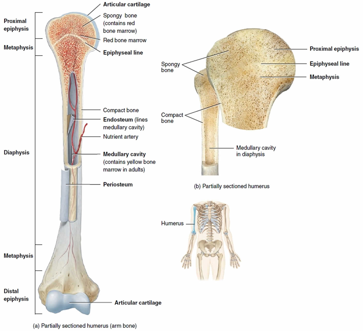 Long Bone Anatomy  Structure  Parts  Function And Fracture