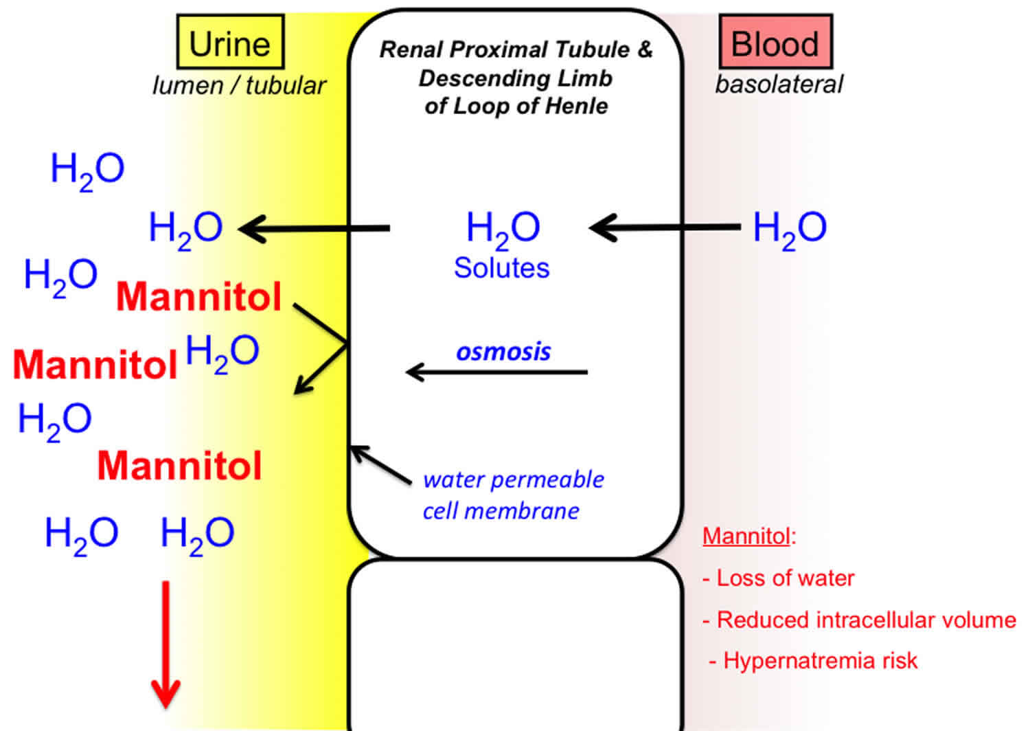 Osmotic diuresis due to mannitol