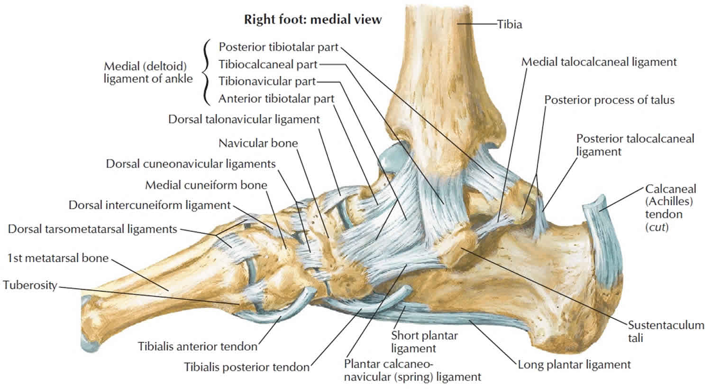 Calcaneus bone anatomy, function, calcaneus pain ...