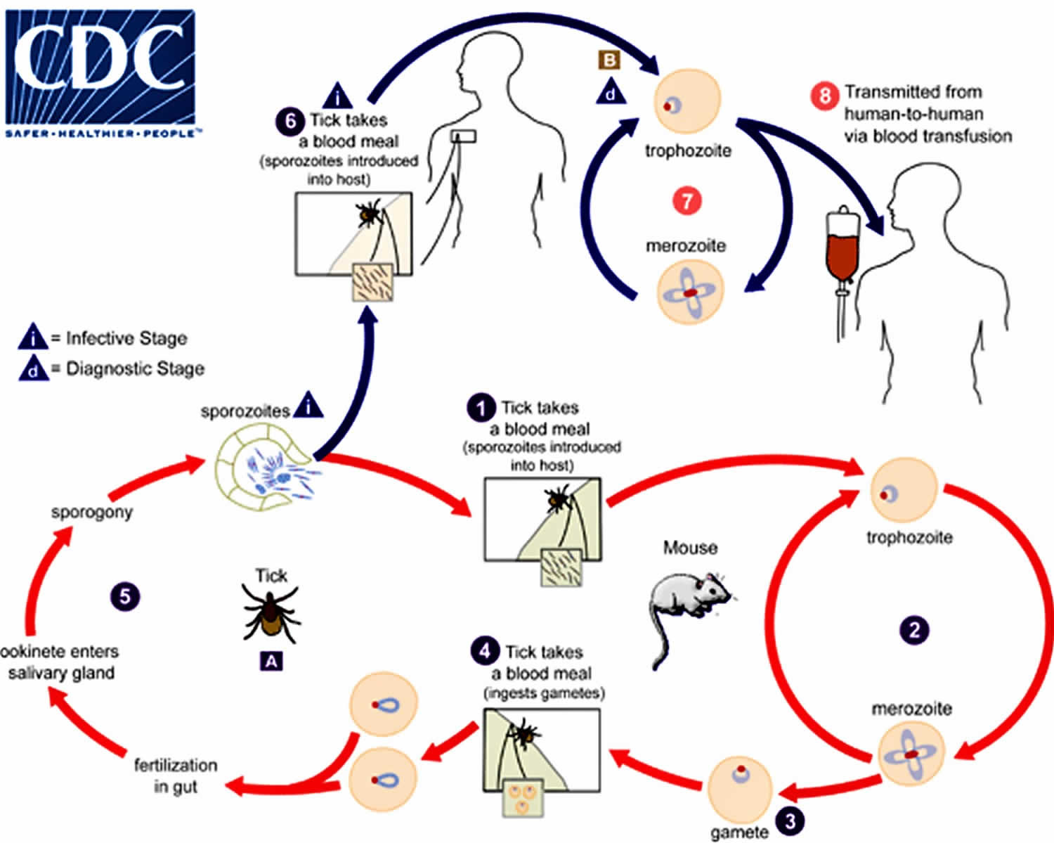 Babesiosis life cycle