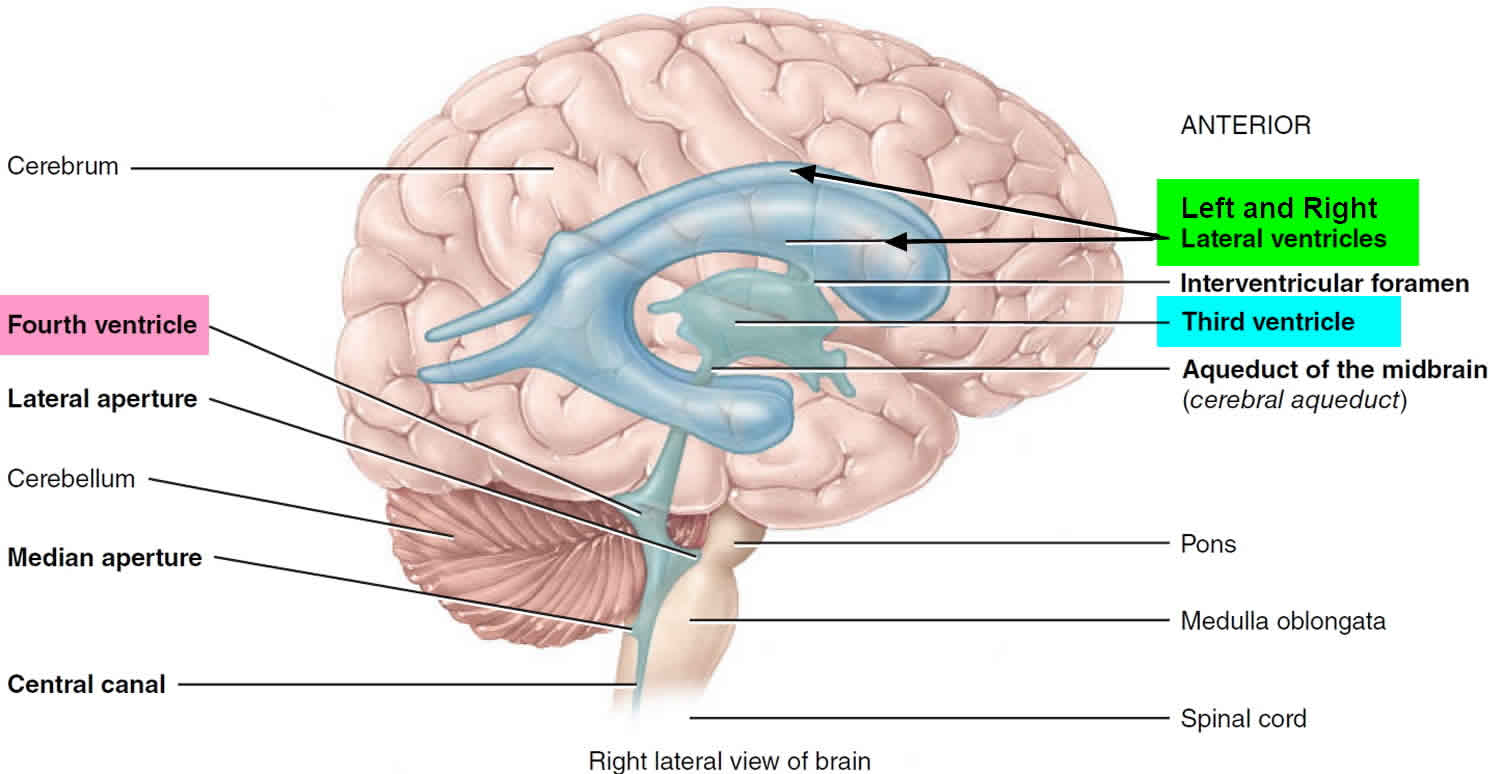 Ventricles of the brain anatomy, function & enlarged ventricles of ...