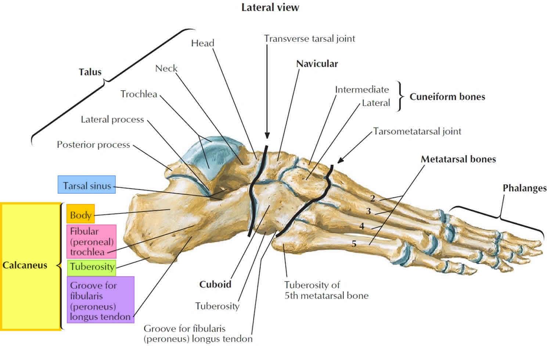 Calcaneus bone anatomy, function, calcaneus pain & calcaneus