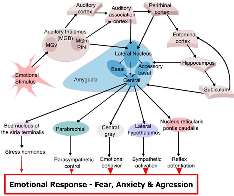 Amygdala function, location & what happens when amygdala ...