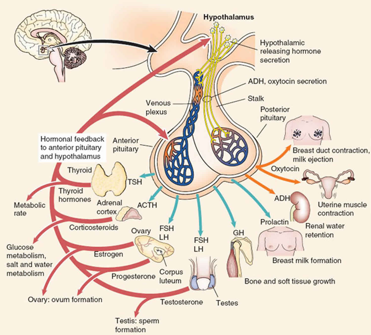 anterior and posterior pituitary hormones