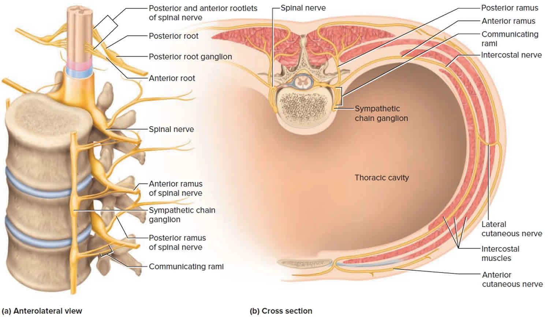 Spinal nerve rami