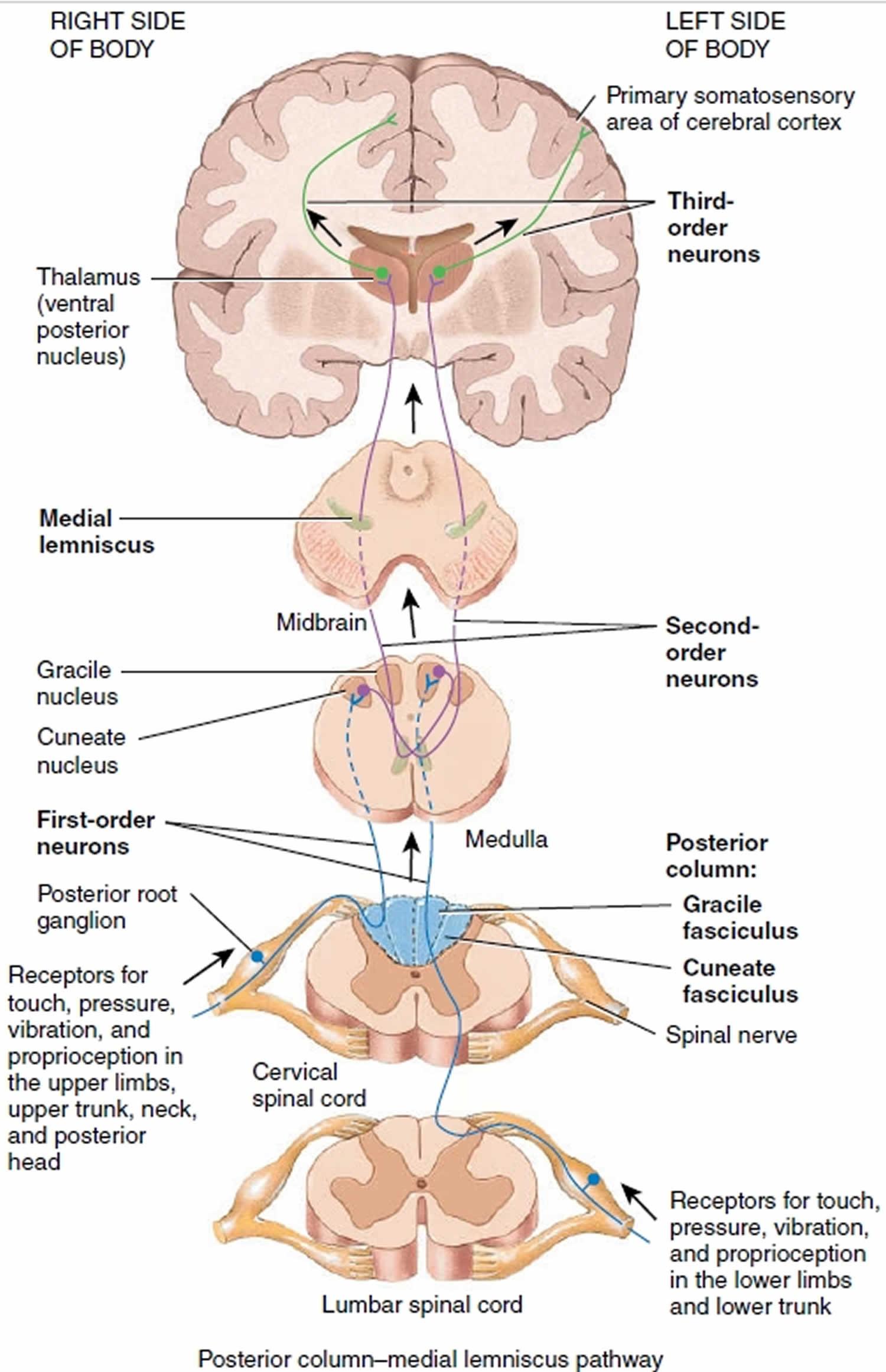 Medulla oblongata anatomy, function, location & medulla ...
